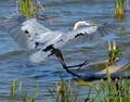 Great Blue Heron landing (Ardea herodias) - Lk Apopka Loop Trail, Zellwood, FL, USA - Date taken - 03/19/17, 11:07 AM - Photo ID - DSCF5214 - Camera - FinePix X-S1 © 2017