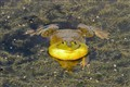 Happy Bullfrog
