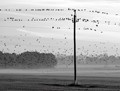 Starling prepairing the autumn migration