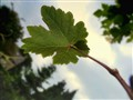 Young Grape Leaf