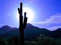 Scottsdale Cactus