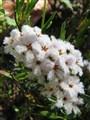 Australian native wildflower