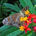 butterfly  IMG_1017