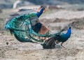 Peacock fight
