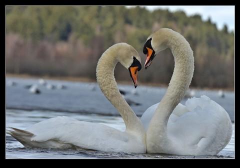 Swan_heart