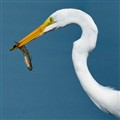 Great Egret and fish out of the water