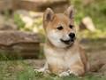 Shiba Inu puppy Zak
