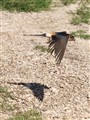 Fast and low - Red-rumped Swallow