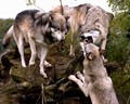 Wolf Park 10/16/06