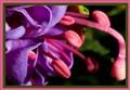 Fuchsia_DropShot