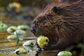 Beaver with Apple