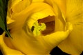 yellow tulip 7_1