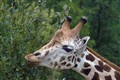 giraffe1600