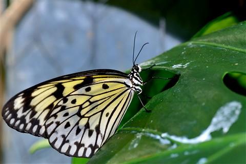 Butterfly_06
