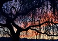 Inside the weeping birch tree at sunset