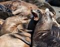 sea lion talk