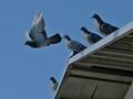 pigeons973