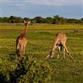 Giraffes posing for me