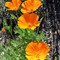 calif poppies2093