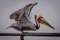 California Pelican