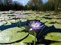Aboriginal lilies
