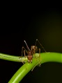 weaver red ant