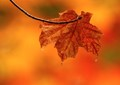 Autumn Leaf 1000x