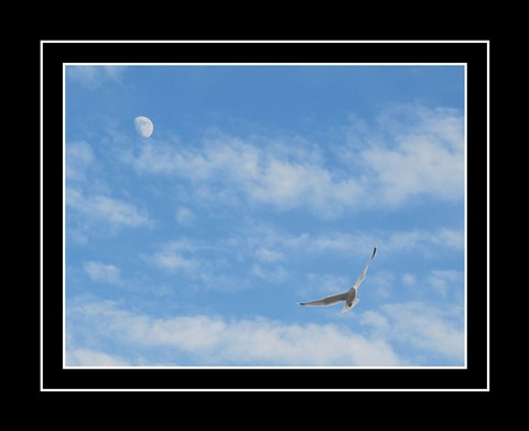 Seagull and the Moon