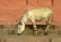 Dhobi's Donkey, Varanasi