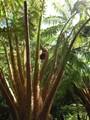 Large Tree Fern