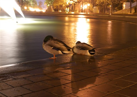 Ducks at the Fountain