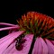 Cone flower & Ant