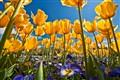 Tulips Jungle
