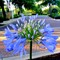 Agapanthus - Blooming African Lily