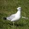 SeagullSide1280_IMG_2256