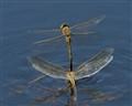 Mating-Dragonflys