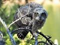 Great Horne Owl Fledgling