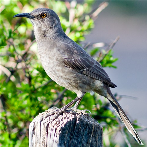 2011-05-05_18-05-16 • M9 400mm f5.6 Telyt Viso III - Curve-Billed Thrasher_00_l