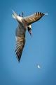 Tern Dropped Minnow-2309