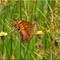 Butterflies_P6252341