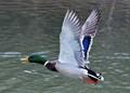 Ducks Quack