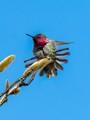 Anna's Hummingbird stretching.