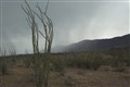 Ocotillo in rain