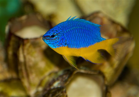 Royal Damselfish