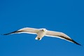 White seagull on observation flight