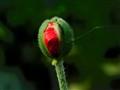 poppy's bud
