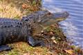 Backyard Crocodile