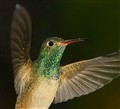 buff-bellied hummer