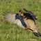 Prairie chicken attacks a rival