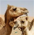 Loving Camels
